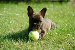 french bulldog, puppy, dog