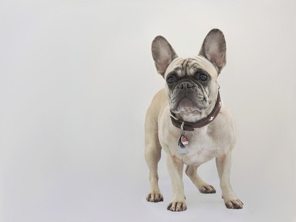 french bulldog, dog, purebred dog