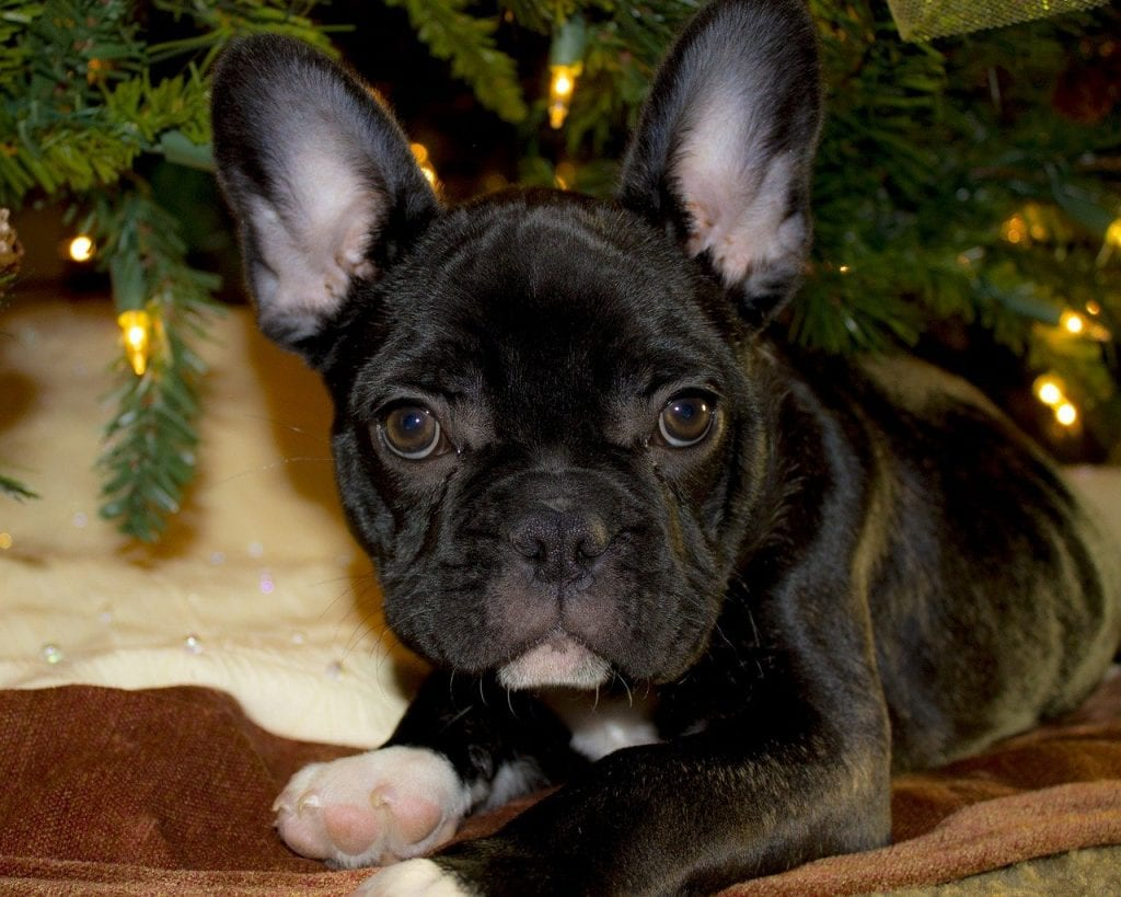 french bulldog, puppy, christmas