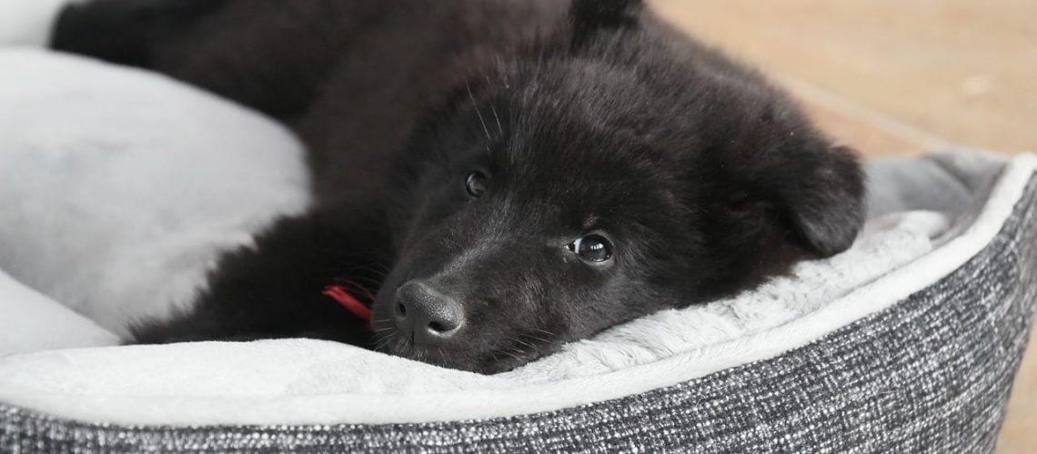 belgian shepherd dog, dog, puppy