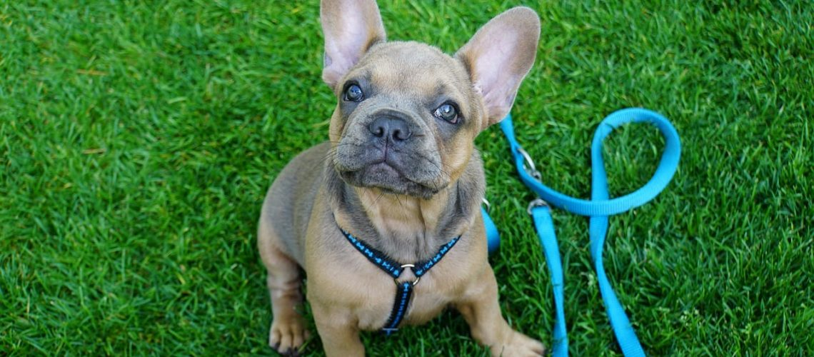 french bulldog, puppy, young